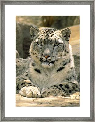 Frontal Portrait Of A Snow Leopards Framed Print by Jason Edwards