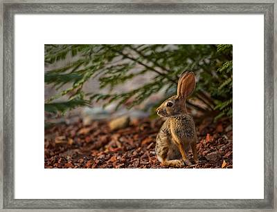 Framed Print featuring the photograph Frontyard Bunny by Dan McManus