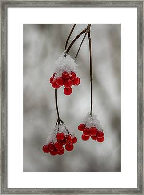 Frosted Berries Framed Print by Paul Freidlund