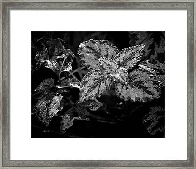 Frosted Hosta Framed Print