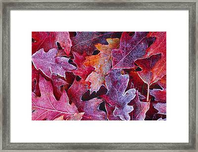 Frosted Red Oak Leaves Framed Print by Tony Beck