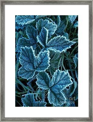 Frosty Ivy Framed Print