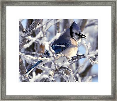 Frosty Morning Blue Jay Framed Print