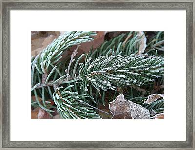 Frosty Pine Branch Framed Print