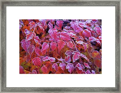 Frosty Red Leaves Framed Print by Jenny Rainbow