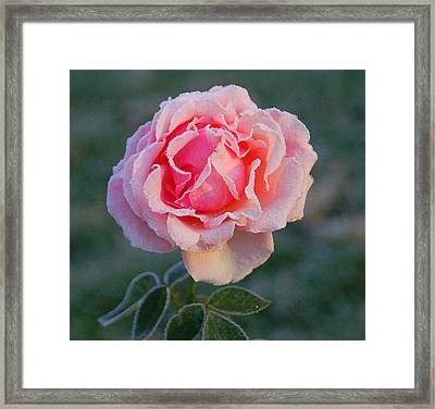 Frosty Rose Framed Print by Monica Lewis
