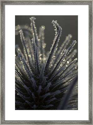 Frosty Teasel Framed Print