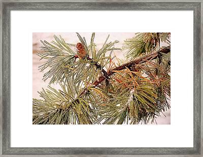 Frozen Pine Framed Print by Frozen in Time Fine Art Photography
