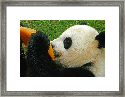 Frozen Treat For Mei Xiang The Giant Panda Framed Print
