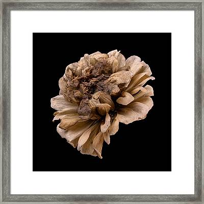 Frozen Zinnia Framed Print by Jim Hughes