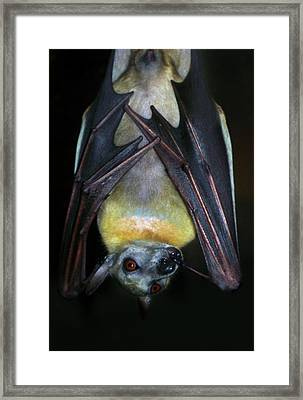 Fruit Bat Framed Print by Anthony Jones