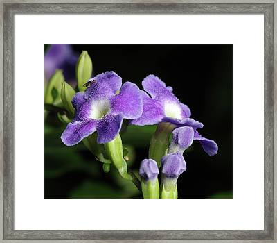 Framed Print featuring the photograph Fruit Fly On Golden Dewdrop by Richard Rizzo