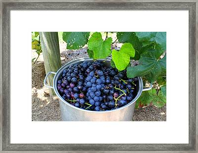 Fruit Of The Vine Framed Print