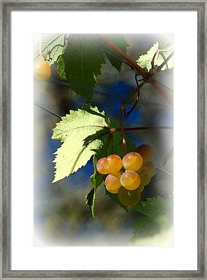 Fruit Of The Vine Vignetted Framed Print by Suzanne Gaff