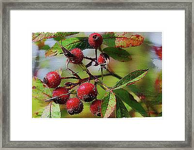 Fruit Of The Wild Rose Framed Print by Margie Wildblood