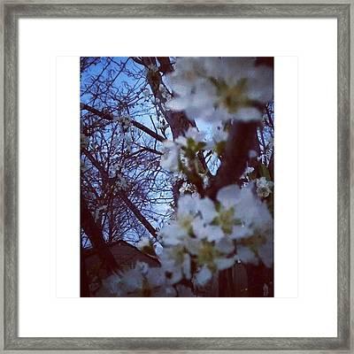 Fruit Trees In Bloom. #spring #fruit Framed Print