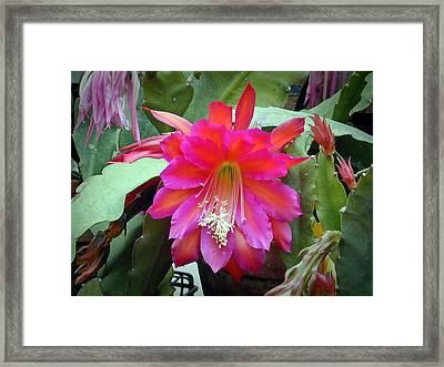 Fuchia Cactus Flower Framed Print