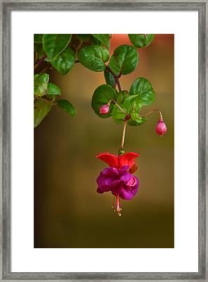 Fuchsia Framed Print by Ann Bridges