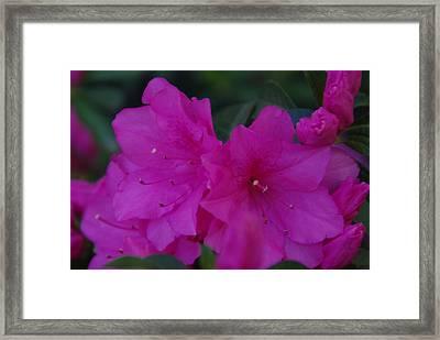 Fuchsia Azaleas Framed Print by Robyn Stacey