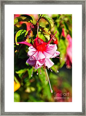Fuchsia Enjoying The Sunshine Framed Print by Kaye Menner