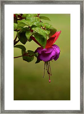 Fuchsia Fuchsia Framed Print by Ann Bridges