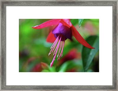 Fuchsia Framed Print