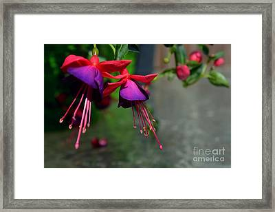 Fuchsia Original Photo Framed Print