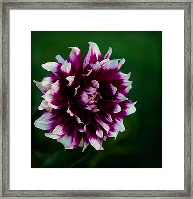 Framed Print featuring the photograph Fuffled Petals by Cherie Duran