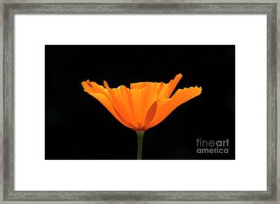 Full Bloom Ca Poppy Framed Print by Shawn Jeffries