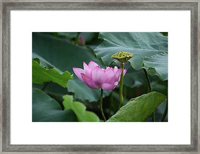 Full Bloomed Lotus Framed Print