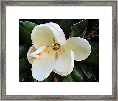 Full Bloomed Magnolia Framed Print by Tina M Wenger