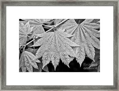 Full Moon Maple Leaf After A Spring Rain Framed Print