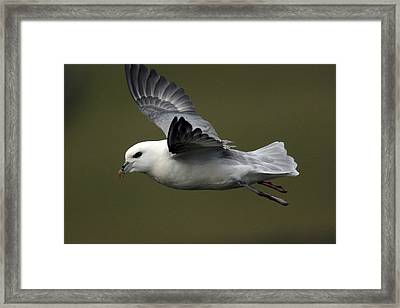 Fulmar In Flight Framed Print