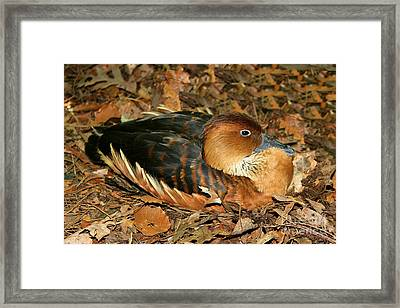 Fulvous Whistling Duck Framed Print by Judy Palkimas