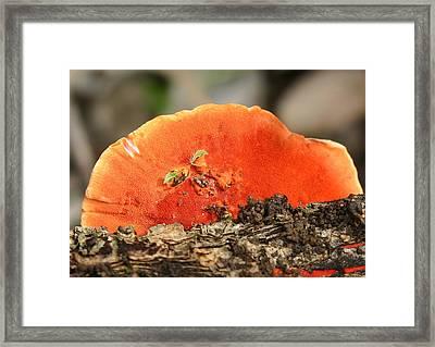Fungi Pycnoporus Coccineus Framed Print