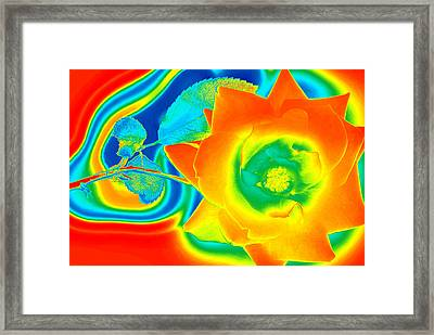 Funky Rose Framed Print by Panos Trivoulides