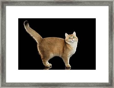 Funny British Cat Golden Color Of Fur Framed Print by Sergey Taran