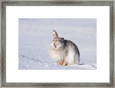 Funny Face - Mountain Hare - Scottish Highlands  #13 Framed Print