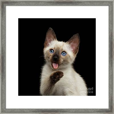Funny Kitty With Blue Eyes Lick His Paw Framed Print by Sergey Taran