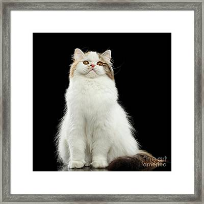 Funny Portrait Angry Scottish Highland Straight Cat, Isolated Bl Framed Print by Sergey Taran