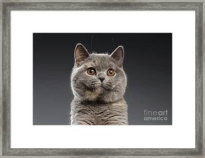 Funny Portrait Of Gray British Cat Framed Print by Sergey Taran
