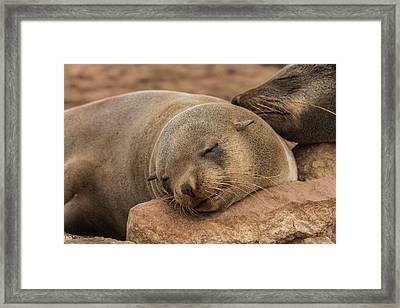 Fur Seal Basking At Cape Cross Framed Print