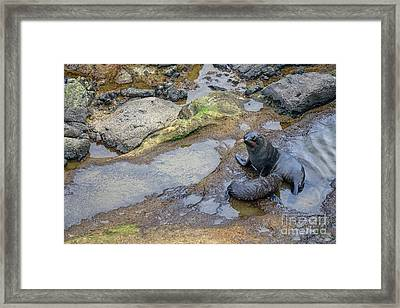Fur Seals Framed Print by Patricia Hofmeester