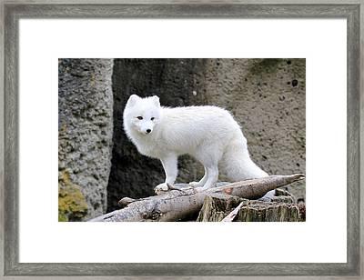 Furry Arctic Fox  Framed Print