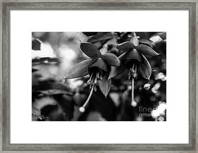 Fuchsia, Black And White Framed Print