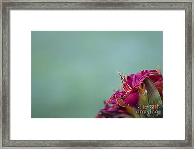 Fuchsia In Bloom Framed Print