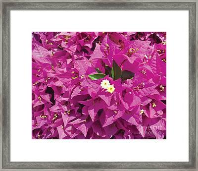Fushia Furry Framed Print by Chris Andruskiewicz