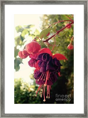 Fuchsia Mrs Popple 2 Framed Print by Catherine BELLOEIL