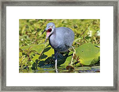Fussy Little Blue Heron Framed Print