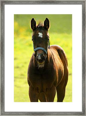 Fuzzy Colt Framed Print by Angela Rath